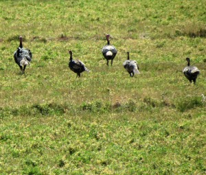 Wild Turkeys in retreat