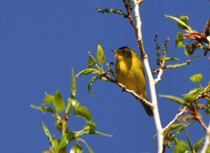 Wilson's Warbler - photo by Joe Schelling