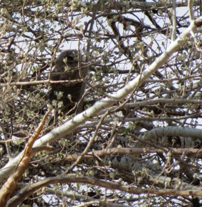 well hidden Great Horned Owl fledgling