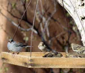 Dark-eyed Junco and Pine Siskins on feeder