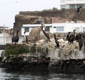 Guanay Cormorants and Peruvian Pelican