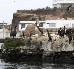 Guanay Cormorants and Peruvian Pelican
