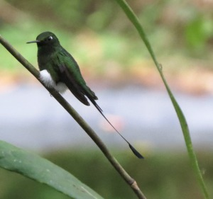 Booted Racket-tail - Photo taken in Ecuador