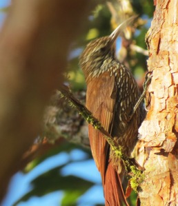 Montane Woodcreeper - photo take in Ecuador