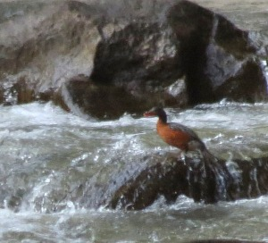 female Torrent Duck