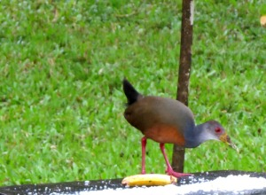 Gray-breasted Wood-Rail