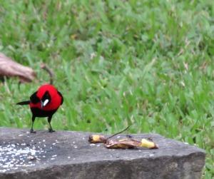 Masked-crimson Tanager