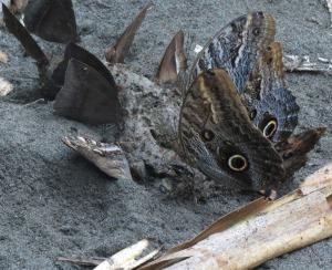Peru-Amazonia-Owl-butterfly