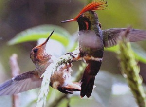 Rufous-crested Coquette - Photo by Ron O'Connell