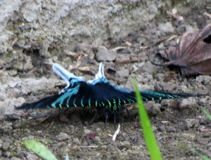 type of Urania moth