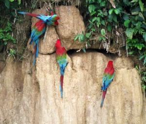 Peru-clay-lick-Macaws