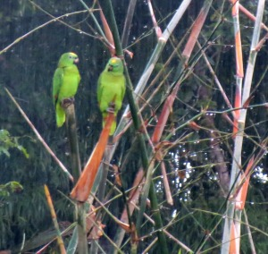 Yellow-crowned Amazons