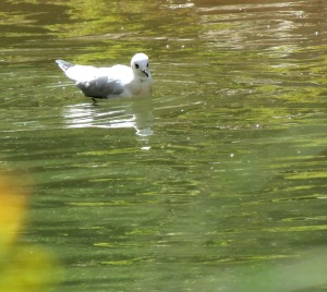 Andean Gull - winter plumage