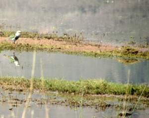 Andean Lapwing at Huacarpay Lake - Photo by Sue Clasen