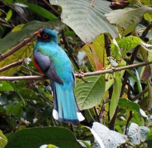 Blue-headed Trogon