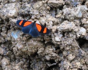Peru-Manu-Rd.-butterfly