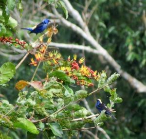Opal-rumped (l) and Opal-crowned (r) Tanagers