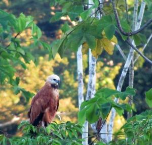 Black-collared Hawk - Photo by Sue Clasen