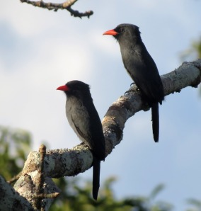 Black-fronted Nunbirds