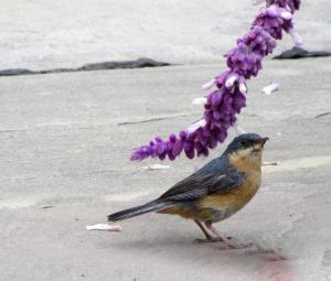 Rusty Flowerpiercer - Photo by Sue Clasen