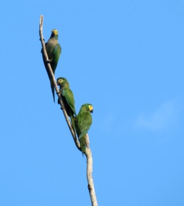 Dusky-headed Parakeets
