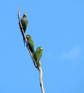 Dusky-headed Parakeets