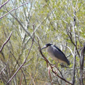 adult Black-crowned Night-Heron