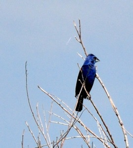 Blue Grosbeak - Photo by Joe Schelling