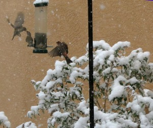 House Finches feeding in the snow in Albuquerque