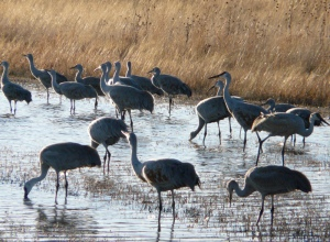 Sandhill Cranes - late afternoon