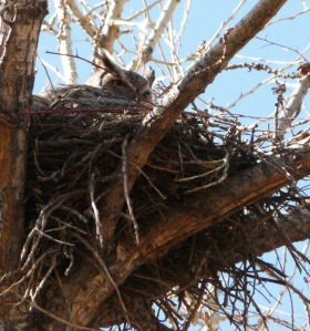 incubating Great Horned Owl