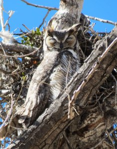well camouflaged roosting male Great Horned Owl