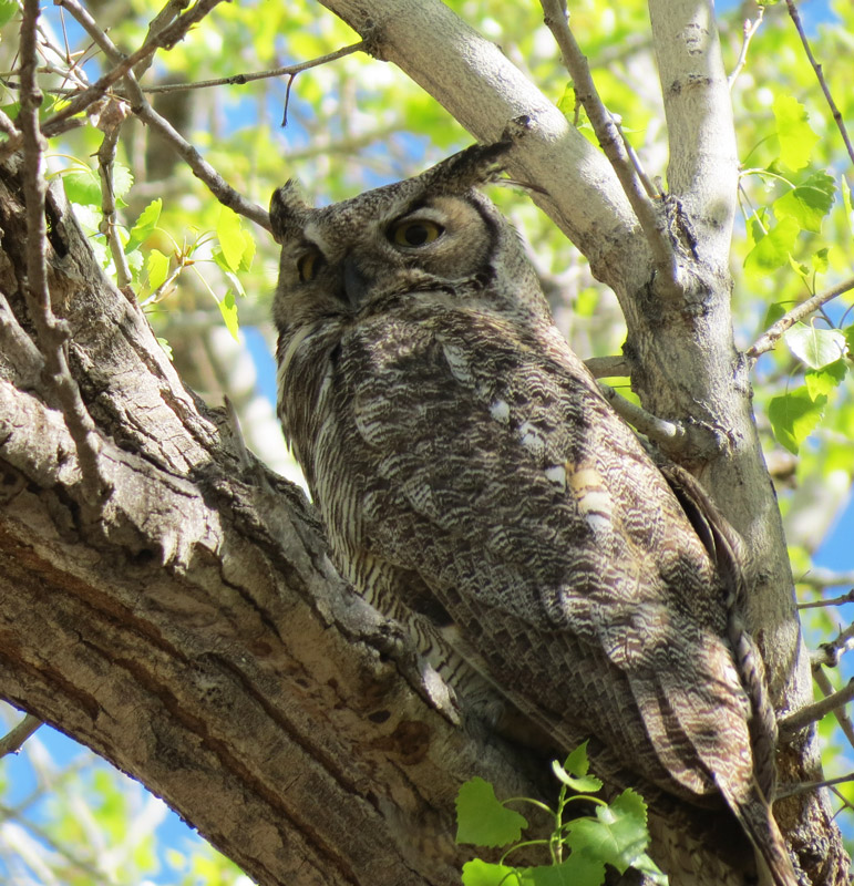 Albuquerque's Great Horned Owls | It's a bird thing...