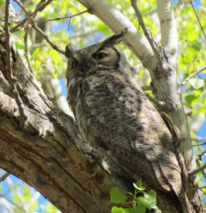 roosting male Great Horned Owl
