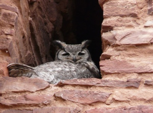 Great Horned Owl nesting in convento niche