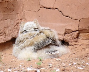 owlet at Quarai ruins