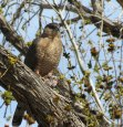female Cooper's Hawk