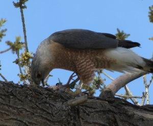male Cooper's Hawk