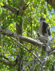 female Cooper's Hawk