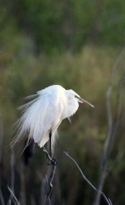 Snowy Egret - Photo by Maryam Miller