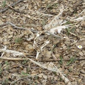 Barn Owl carcass