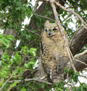 Great Horned Owl f.