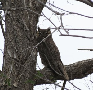 Great Horned Owl m.