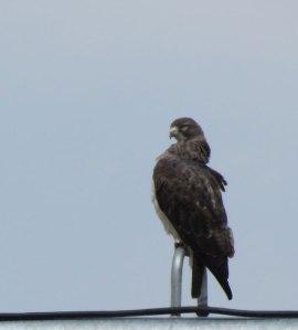 Swainson's Hawk m.