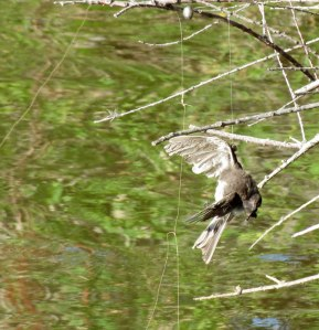 Black Phoebe tangled in fishing line