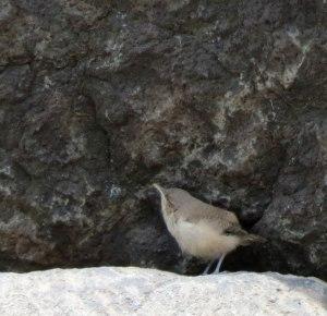 begging Rock Wren chick