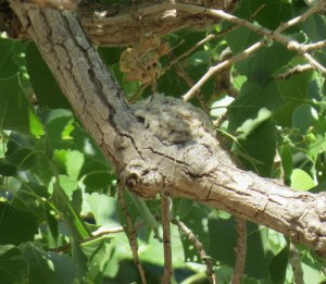 Western Wood-Pewee Nest