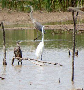 Great Blue Herons and Great Egret