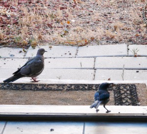 Jay making sure the White-winged Dove does not get its peanut.