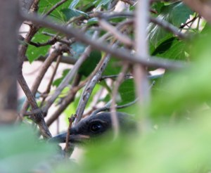 juvenile hiding in bush